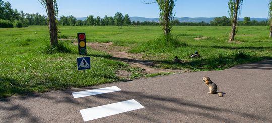 Суслик тоже человек: в Красноярске построили зебру и светофор для мелких животных